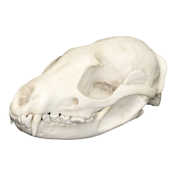 Replica Asian Palm Civet Skull