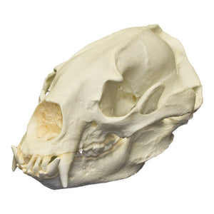 Replica Asiatic Black Bear Skull