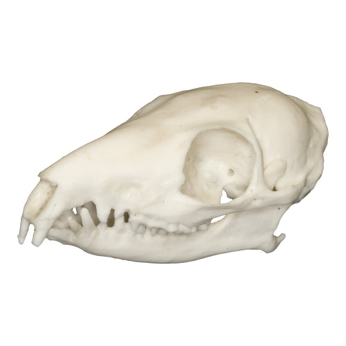 Replica Tree Shrew Skull
