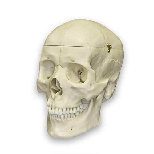 Replica Human Medical Quality Skull with Calvarium Cut - Asian Male