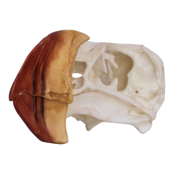 Replica Horned Puffin Skull