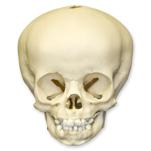 Replica 16-month-old Human Child Skull