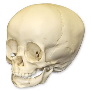 Replica 1 1/2-year-old Human Child Skull