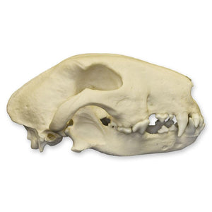 Replica Bull Terrier Dog Skull