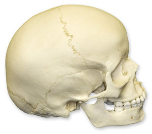 Replica 6-year-old Human Child Skull