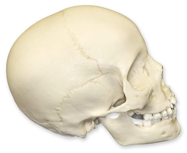 Replica 8-year-old Human Child Skull