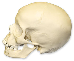 Replica 9-year-old Human Child Skull