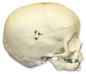 Replica 1-year-old Human Child with Calvarium Cut Skull