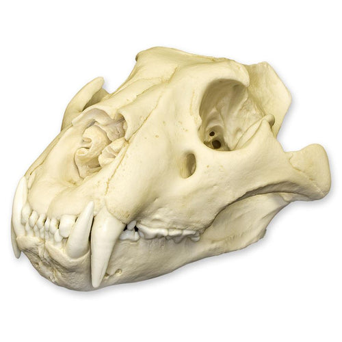 Replica Extra Large African Lion Skull