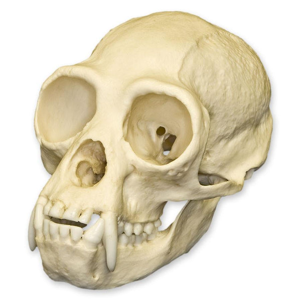 Replica White-handed Gibbon Skull