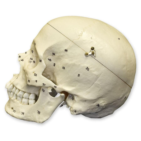 Replica Human Skull with Calvarium Cut and Numbered - European Male
