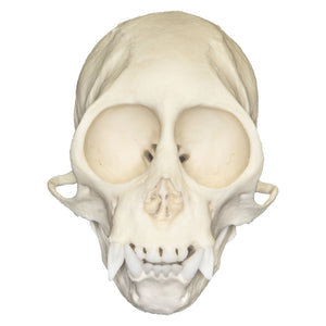 Replica Squirrel Monkey Skull