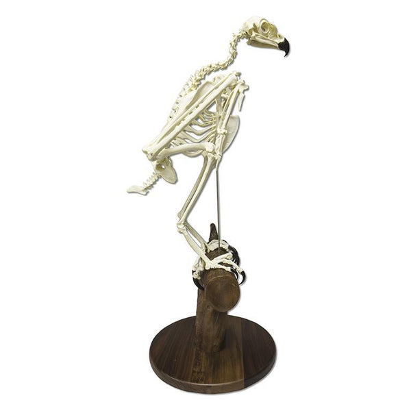 Replica Golden Eagle Skeleton (Articulated on Base)