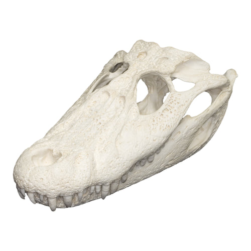 Replica Black Caiman Skull
