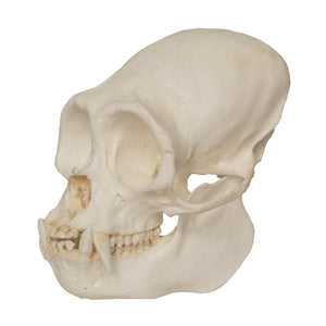 Replica Black Spider Monkey Skull