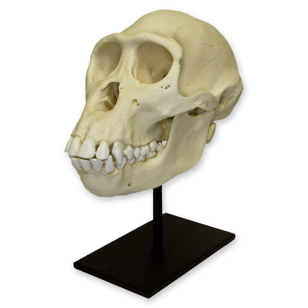 Replica Bonobo Skull (Female)