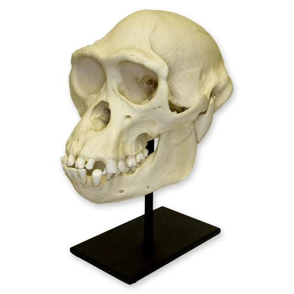 Replica Bonobo Skull (Male)