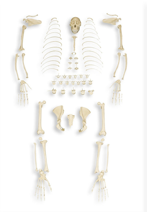 Replica Bonobo Skeleton - (Disarticulated)