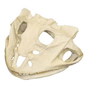 Replica  Brazilian Horned Frog Skull