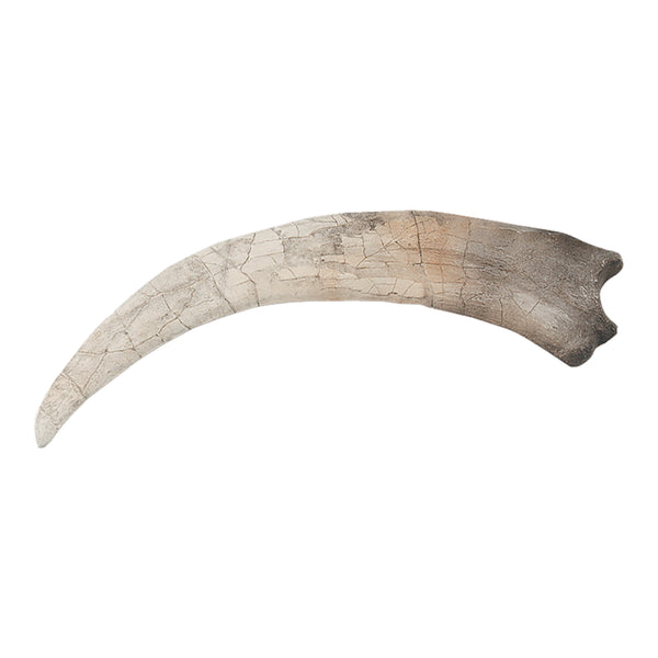 Replica Therizinosaurus Claw