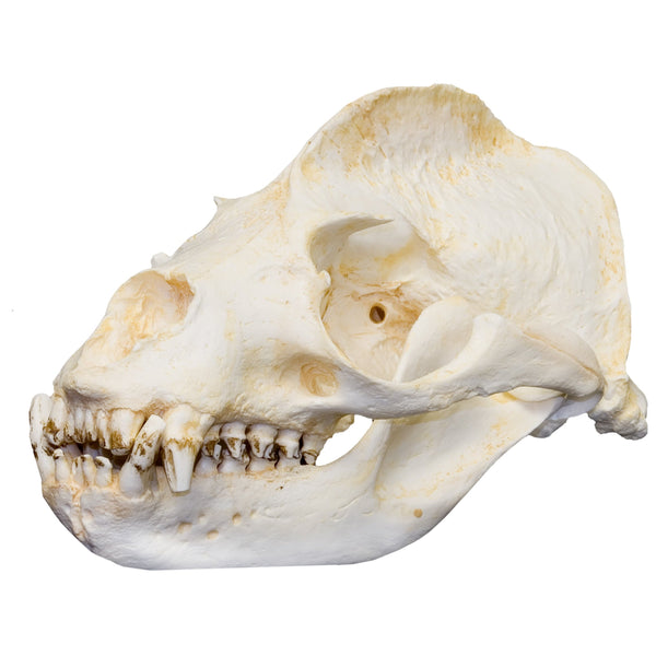 Replica California Sea Lion Skull (Male)