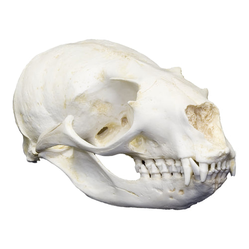 Replica California Sea Lion Skull (Female)