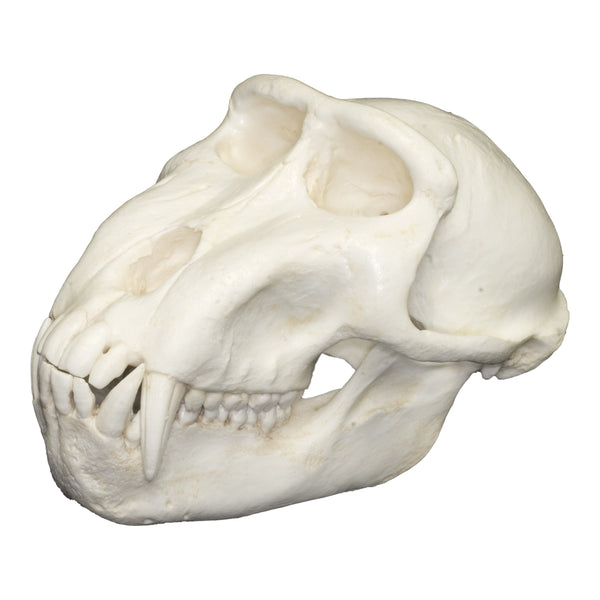 Replica Celebes Macaque Monkey Skull