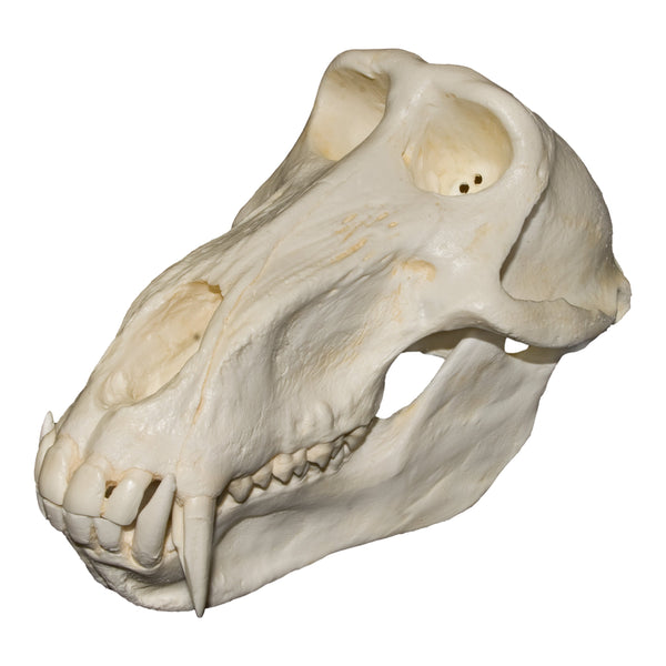 Replica Chacma Baboon Skull (Male)