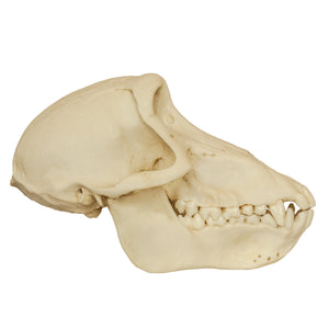 Replica Chacma Baboon Skull (Female)