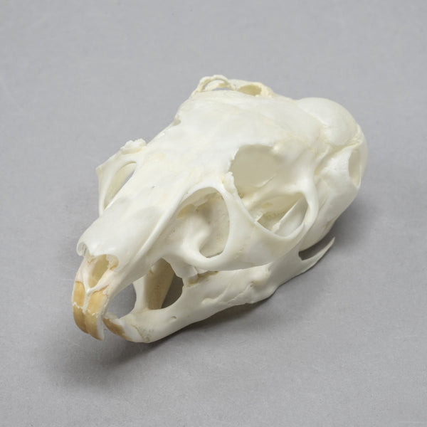 Real Chinchilla Skull (Pathology)