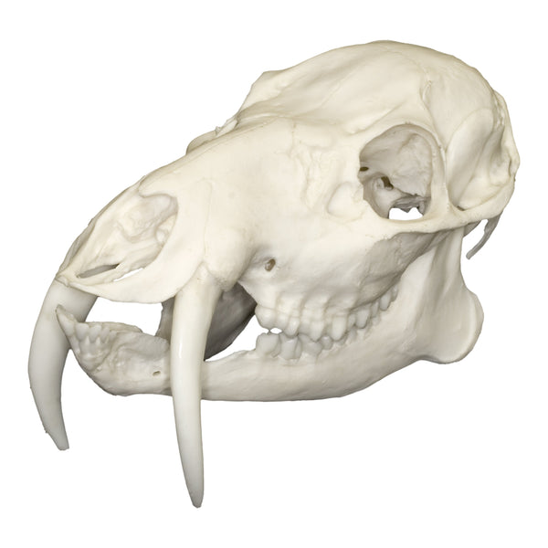 Replica Chinese Water Deer Skull