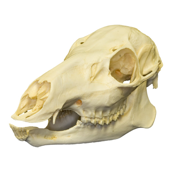 Replica Chinese Water Deer Skull (Female)