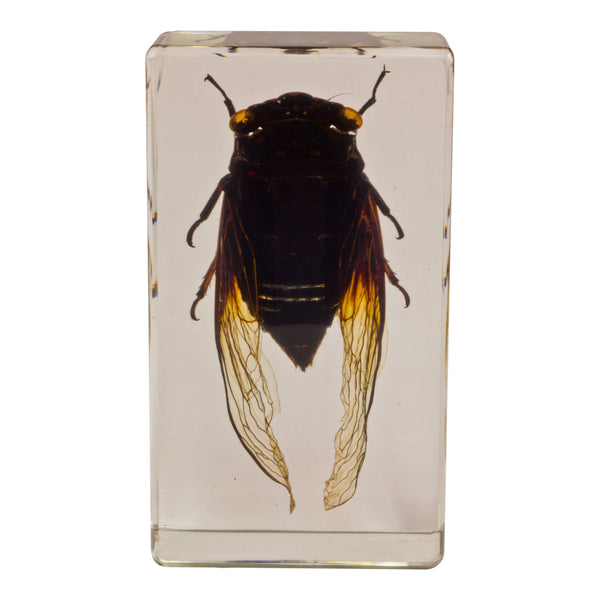 Real Acrylic Paperweight with Bugs Cicada