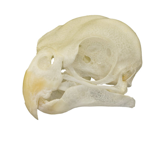 Real Cockatiel Bird Skull