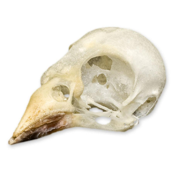 Real Cordon Bleu Skull