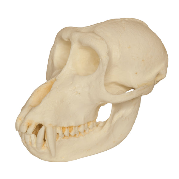 Replica Crab-eating Monkey Skull