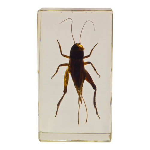 Real Acrylic Paperweight with Bugs Cricket