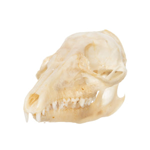 Real Four-toed Elephant Shrew Skull
