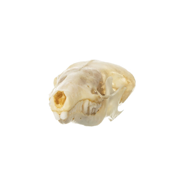 Real Townsend's Mole Skull