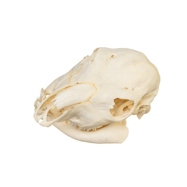 Real Two-headed Calf Skull