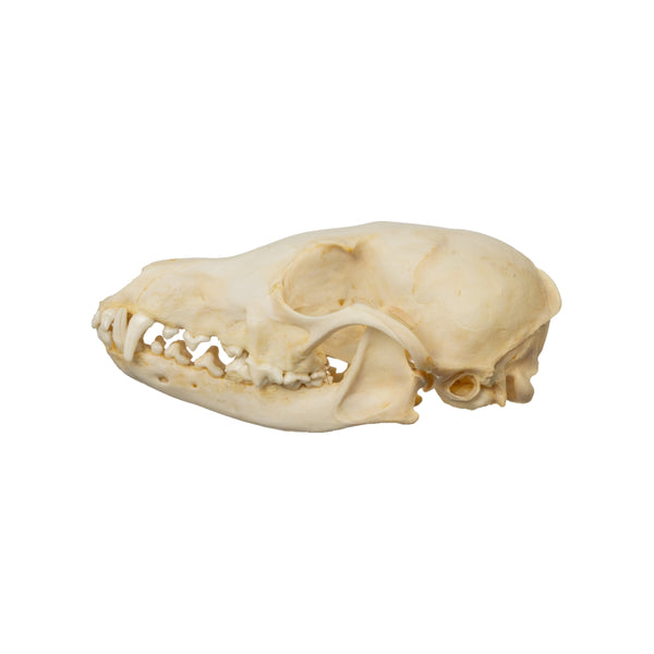 Real Arctic Fox Skull