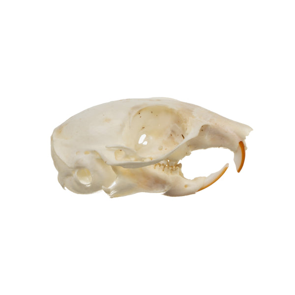 Real Harris' Antelope Squirrel Skull