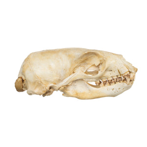 Real Sea Lion Skull with Baculum - Male