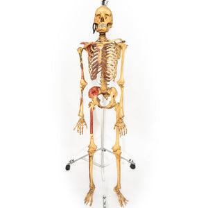Real Human Skeleton