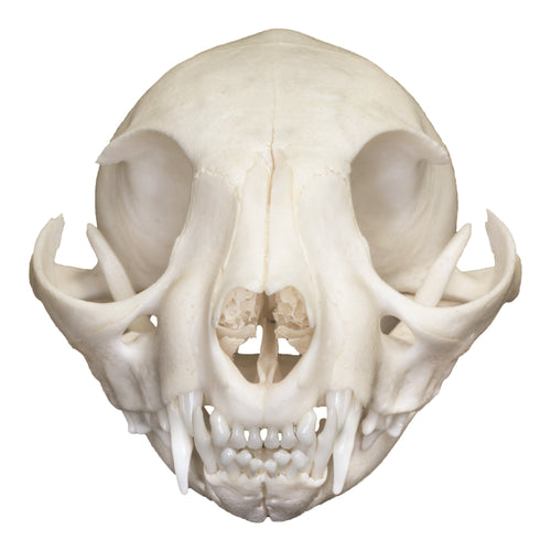 Real Domestic Cat Skull (Adolescent)