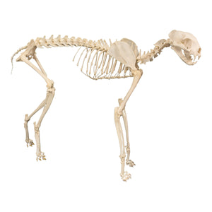 Real Domestic Cat Skeleton by Skulls Unlimited