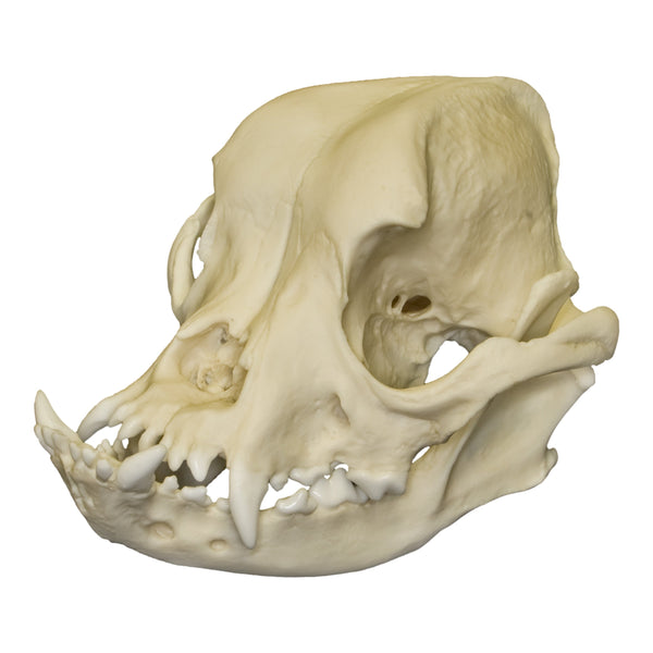 Replica English Bulldog Skull Male For Sale Skulls