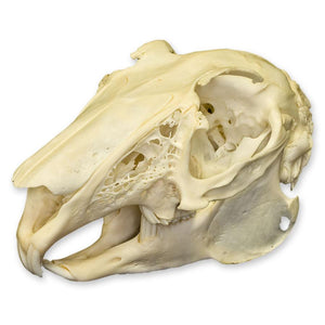 Real European Hare Skull