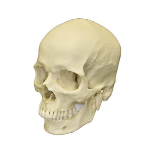 Replica Human Male European / Caucasian Skull