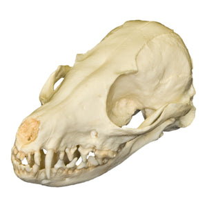 Replica Fennec Fox Skull